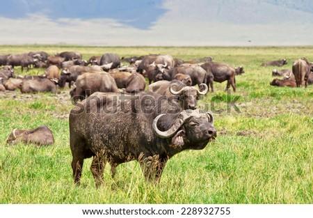 African Buffalo herd in the Ngorongoro Crater, Tanzania - stock photo