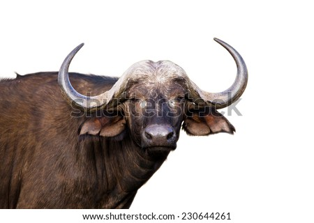 African buffalo isolated on white