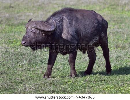 African buffalo on the Crater Ngorongoro National Park - Tanzania - stock photo