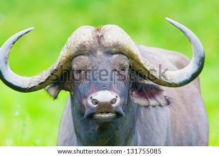 African buffalo on the Masai Mara National Reserve - Kenya - stock photo