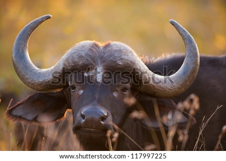 African buffalo (Syncerus caffer) near Kruger National Park - stock photo