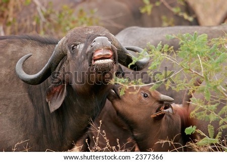 African buffalo (Syncerus caffer)  with young calf, Kruger National Park, South Africa	 - stock photo