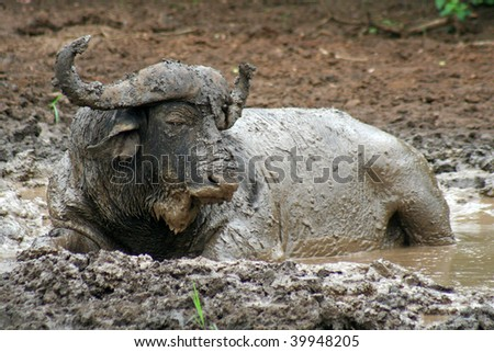 African buffalo taking a mud bath, Hluhluwe-Imfolozi Reserve, South Africa - stock photo
