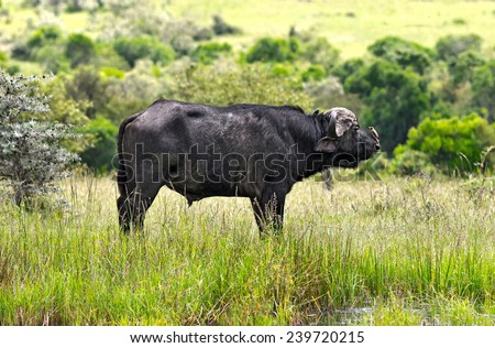 African buffalo with a bird on his nose on the Masai Mara National Reserve - Kenya - stock photo