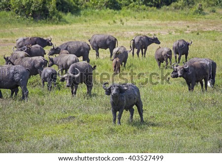 African buffaloes herd grazing at the Murchison Falls National Park in Uganda, Africa - stock photo