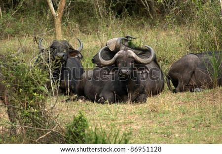 African Buffalos in Uganda (Africa) while resting on grassy ground - stock photo