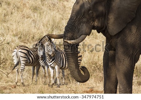 African bush elephant and zebra in Kruger national park, South Africa ; Specie Loxodonta africana family of Elephantidae - stock photo