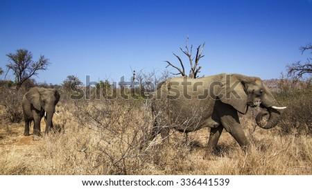 African bush elephant in Kruger national park, South Africa ; Specie Ceratotherium simum simum - stock photo