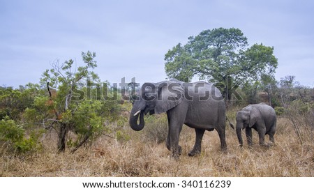 African bush elephant in Kruger national park, South Africa ;Specie Loxodonta africana family of Elephantidae - stock photo
