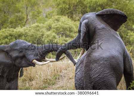 African bush elephant  in Kruger national park,South Africa ; Specie Loxodonta africana family of Elephantidae - stock photo