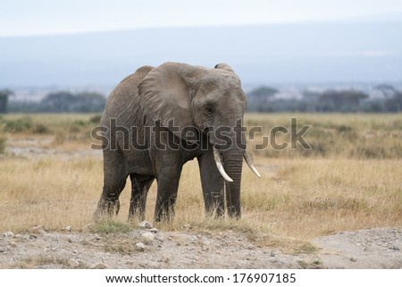 African bush elephant   (Loxodonta africana), Masai Mara National Reserve, Kenya - stock photo