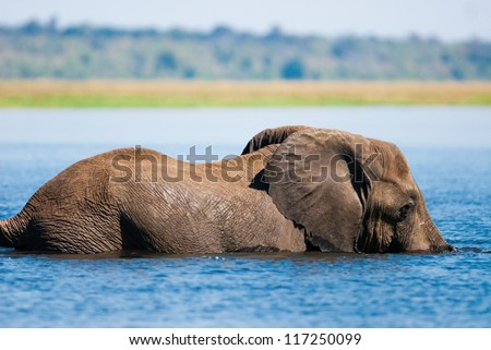 African bush elephant (Loxodonta africana) swimming in river - stock photo
