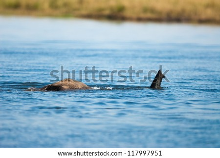 African bush elephant (Loxodonta africana) using trunk as snorkel - stock photo