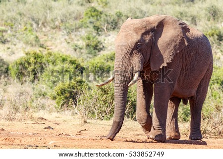 African Bush Elephant walking to the watering hole.