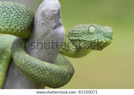 African Bush Viper (Atheris squamigera): A Highly Poisonous Ambush Predator
