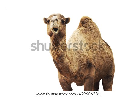 african camel isolated on white background.  - stock photo