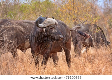 african cape buffalo in Kruger National Park, South Africa with red-billed oxpecker showing the symbiotic relationship of mutual benefit - stock photo