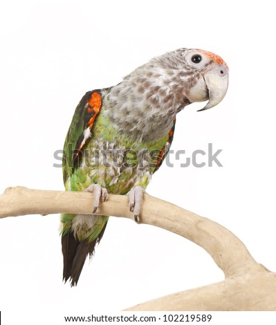 African Caped Parrot Perched Isolated on white