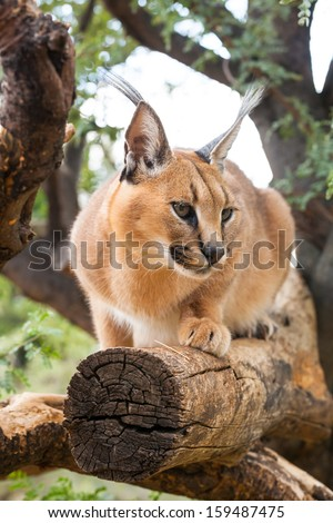 african caracal on a branch of a tree, Namibia - stock photo