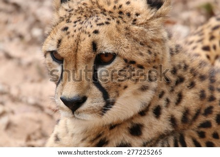 African Cheetah (Acinonyx jubatus) - stock photo