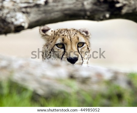 african cheetah adult male sitting behind fallen tree looking at camera, maasai mara, africa - stock photo