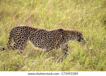 African cheetah,shallow doff - stock photo