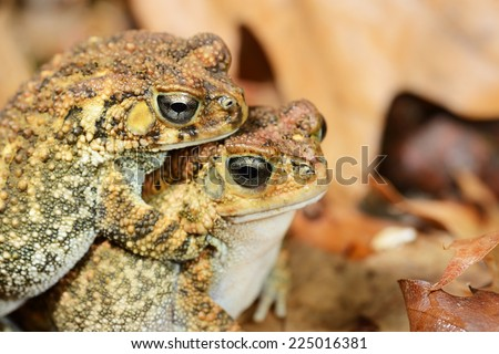 African common toad Amietophrynus gutturalis - stock photo