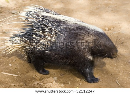 African Crested Porcupine - stock photo