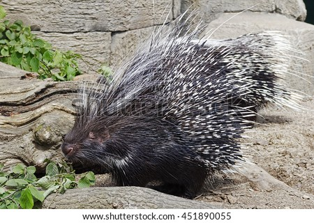 African Crested Porcupine feeding on leaves - stock photo