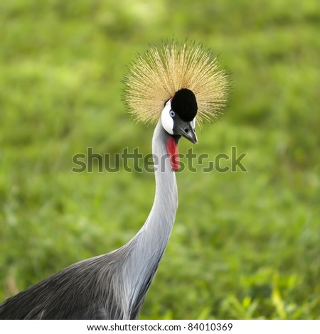 African Crown Crane portrait with grassy background - stock photo