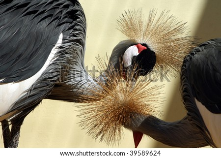 African crowned crane, beloved couple