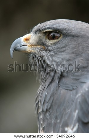 African crowned eagle looking majestic - stock photo