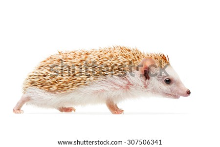 African cute hedgehog isolated on white background - stock photo