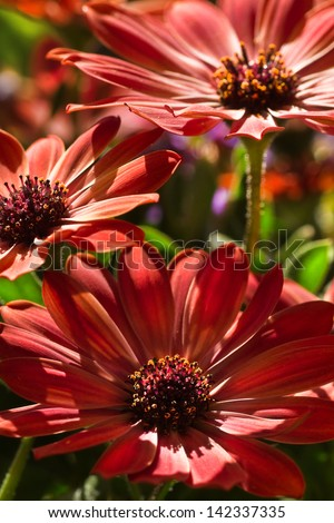 African daisy or Cape marigold flowers in summer sunshine - stock photo