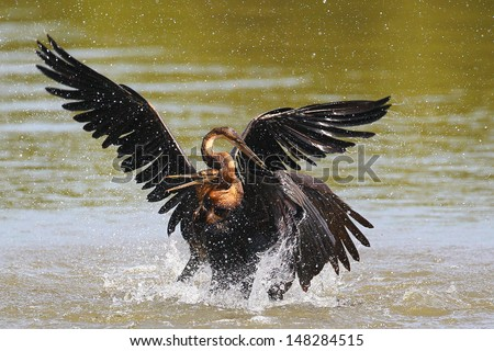 African darter strangling other darter on water while fighting, Bloemfontein Botanical Gardens, South Africa - stock photo