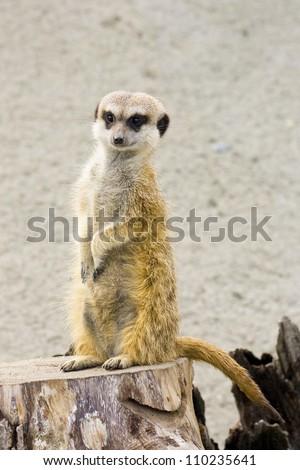 african desert animal - stock photo