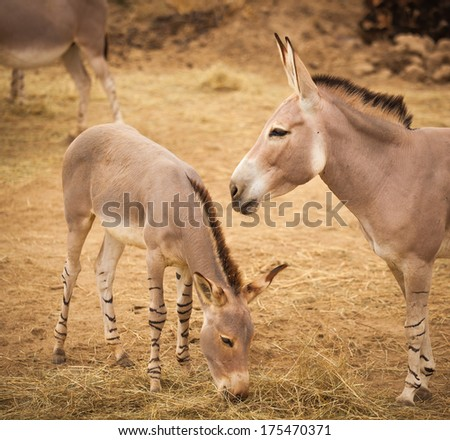 African donkey with baby.