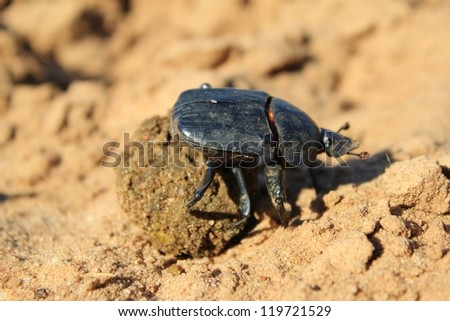 African Dung Beetle rolling away its bounty