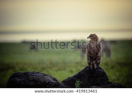 african eagle watching in Ngorongoro - stock photo