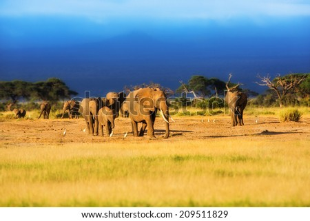 African Elefant herd in the last rays of sun just before the rain in Amboseli National Park, Kenya - stock photo
