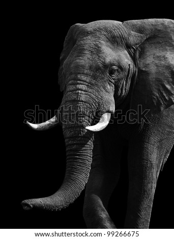 African Elephant - stock photo