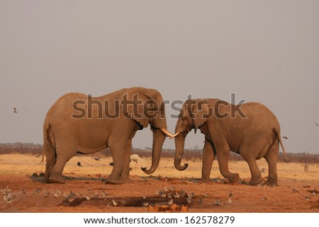 African Elephant, Addo National Park, South Africa