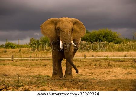 African Elephant against a dark sky - stock photo