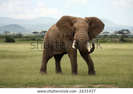 African Elephant Amboseli Kenya - stock photo