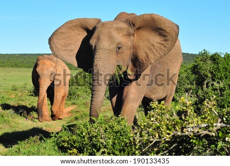 African Elephant and calf browsing