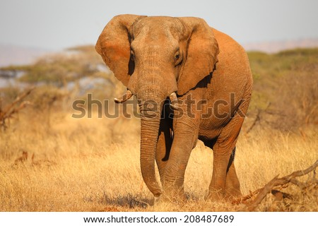 African elephant approaching while angry - stock photo