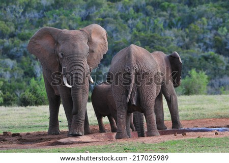 African Elephant  around a watering hole