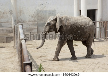 African elephant at the Beijing Zoo
