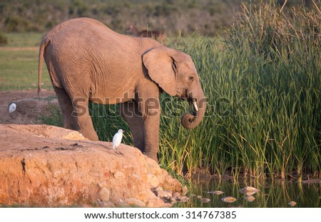 African elephant at the edge of a waterhole in South Africa