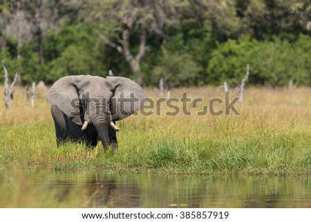 African Elephant at water's edge in Khwai in Botswana - stock photo